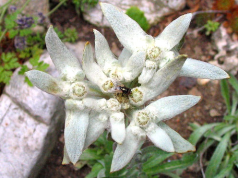 Edelweiss (Leontopodium alpinum). Photo: Paolo via Flickr.com.
