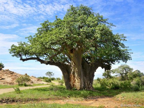 Baobab Tree (Adansonia digitata), Mapangubwe National Park, South Africa. The tree is a rich source of nutritious fruit for wildlife and humans. Photo: Martin Heigan via Flickr.com.