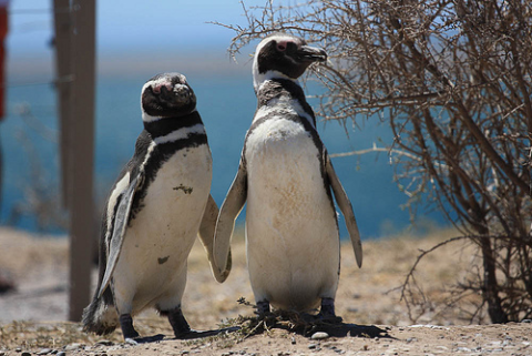 Magellanic penguins, Rio Negro, Argentina. Photo: S-t-v via Flickr.com.