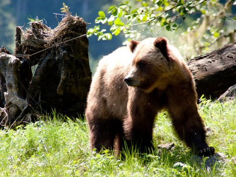 Female Grizzly Bear, Khutzeymateen Grizzly Bear Sanctuary, BC. Photo: Heather and Mike via Flickr.com.
