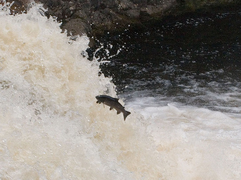 Salmon leaping at the Falls of Shinn, Scotland. Salmon need to be in good condition to return to their up-river spawning grounds. Photo: Gary Henderson via Flickr.com.