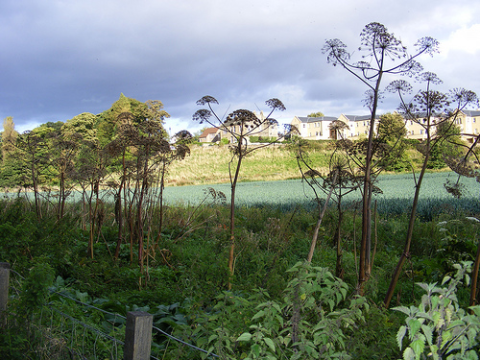 Giant hogweed growing on waste ground. Photo: Rab Pillans via Flickr.com.