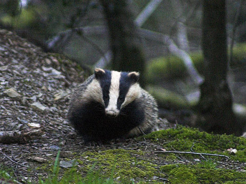 A Devon badger in the wild. Photo: Jon Bowen via Flickr.com.