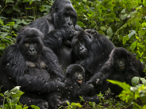 Bageni family in the gorilla sector of Virunga National Park, Bukima, Democratic Republic of Congo. Photo: Brent Stirton / WWF.