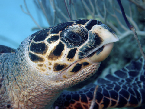 A Hornbill turtle photographed at Grant Turk Island, TCI. Photo: Ron Brugger via Flickr.com.