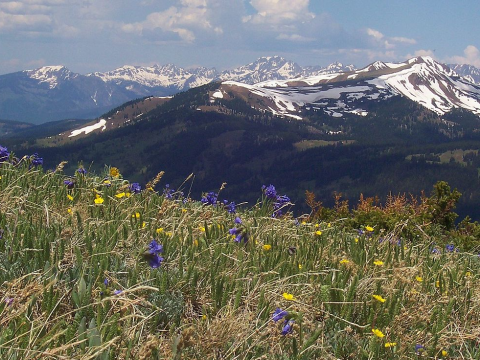 Sky pilot, alpine buttercup and old-man-of-the-mountain in full bloom in the Rocky Mountains of Colorado. Photo: John Holm / Wikimedia Commons.