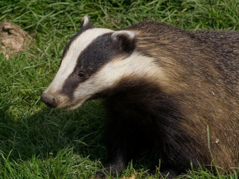 An English badger. Photo: Fred Dawson via Flickr.com.