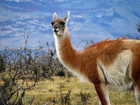 Guanaco in Chile's Torres del Payne National Park. Photo: Fernando Venegas Traba via Flickr.com.