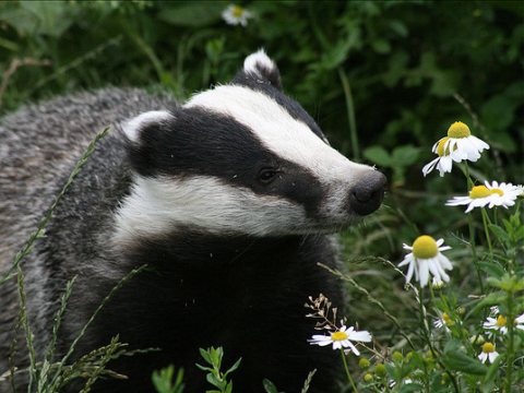 Badger sniffing daisies. Photo: Sally Longstaff via Flickr.com.