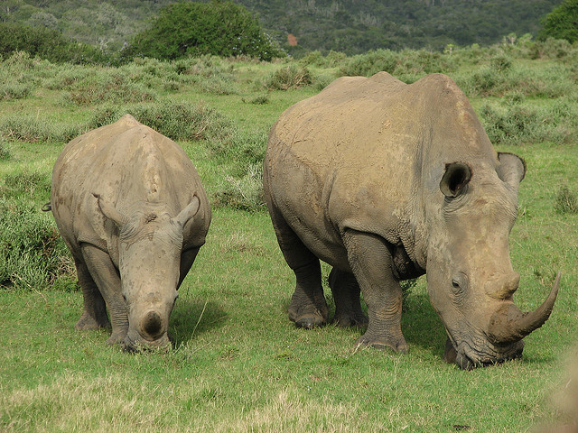 Africa would not be the same without them. Rhinos at Kariega Game Reserve. Photo: Clem Evans via Flickr.com.