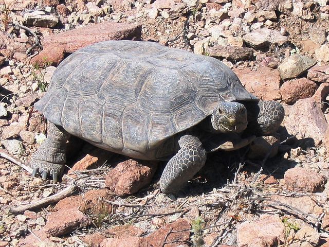 Threatened desert tortoise (Gopherus agassizii). Photo: Roy C. Averill-Murray / USFWS Endangered Species via Flickr.com.