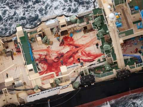 The bloodied deck of the Nisshin Maru, stained from the butchering of a whale. Photo: Tim Watters / Sea Shepherd Australia.