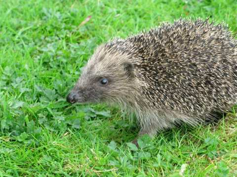 Hedgehog. Photo: Hugh Warwick.