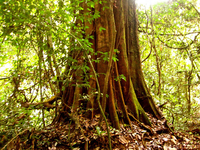 A giant tree of the Congo basin rainforest. Photo: Corinne Staley via Flickr.com.