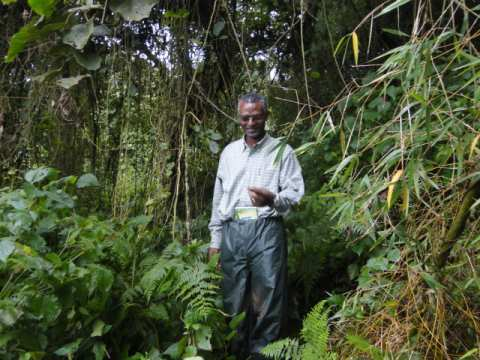 Eugene Rutagarama tracking gorillas early morning to locate them before tourists visit them in the Volcanoes National Park in Rwanda. This is what is done everyday to check on the health of each individual gorilla, but also to ensure that tourists visitin