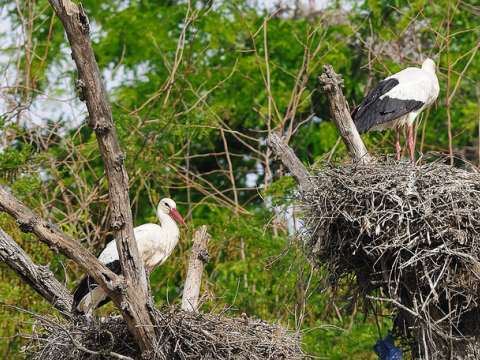 White storks nesting at Coto Doñana, Spain. Photo: Ian Keith via Flickr.