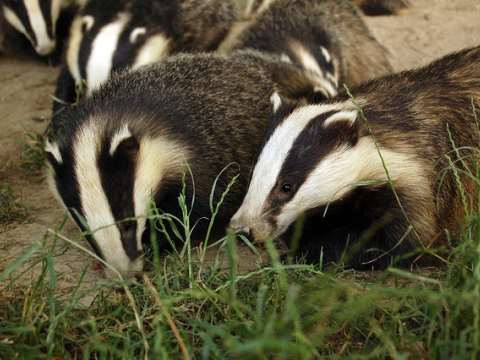 The social structure of badger families is perturbed by the loss of a single member, and this can cause the spread of any TB they may be harbouring. Photo: Tim Brookes via Flickr.