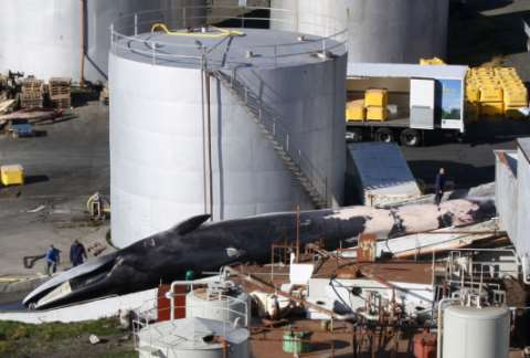 An endangered Fin whale landed at Miòsandur whaling station, Hvalfjördur, Iceland, in September 2010 © EIA.