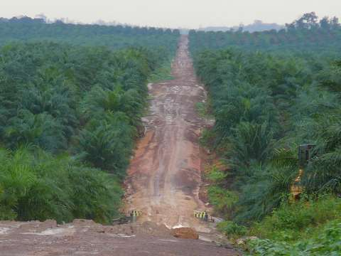 A palm oil plantation in West Kalimantan, Indonesia. Photo: Rainforest Action Network.