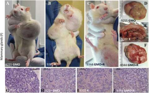 Examples of female mammary tumors observed. Mammary tumors are evidenced (A, D, H, representative adenocarcinoma, from the same rat in a GMO group) and in Roundup and GMO + Roundup groups, two representative rats (B, C, E, F, I, J fibroadenomas) are compa