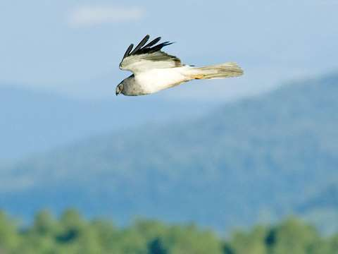 Hen Harrier (Circus cyaneus) in Russia's Altai Mountains. Photo: Sergey Yeliseev via Flickr.