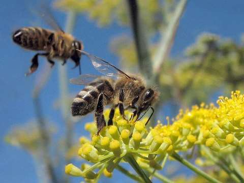 Neonicotinoid insecticides are killing more than just bees - entire farmland ecosystems are being poisoned. Photo: honeybees (Apis mellifera) on wild fennel, Albany, California, by Jack Wolf via Flickr.