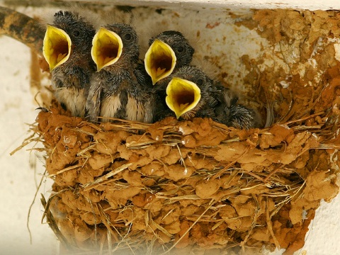 Barn swallow chicks (Hirundo rustica) at Arrábida (Quinta do Camalhão), Setúbal, Portugal. This insectivorous species is among those impacted by imidacloprid. Photo: Jose Sousa via Flickr.