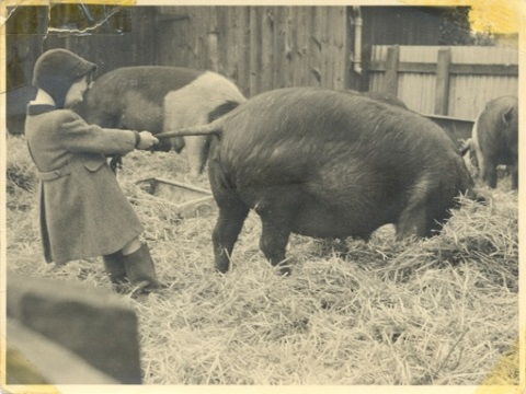 As a boy, the author pulls a big's tail on the family farm - around the time that Parliament, in 1953, allowed farmers to add antibiotics to animal feed.