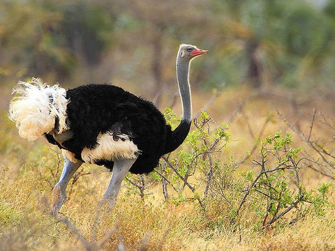The Somali ostrich is now recognised as a separate species, but it's listed as 'vulnerable' owing to hunting, egg collecting and other threats. Photo: Steve Garvie via Flickr, taken in Kenya's Rift Valley.