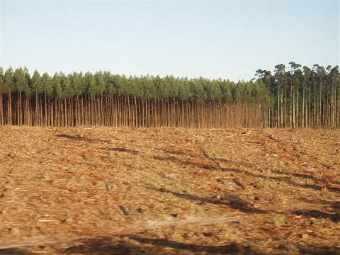 As far as REDD is concerned, this eucalyptus plantation in South Africa is as good as - or even better than - a natural forest of native species. Photo: Chris Lang via Flickr.
