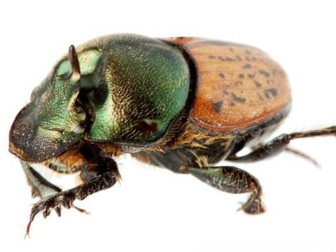A male Onthophagus vacca, the species of dung beetle being released this week in Western Australia. Photo: CSIRO.