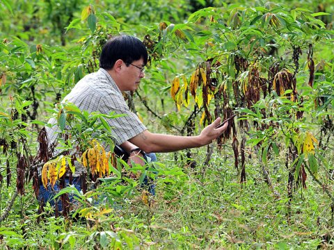 CIAT cassava specialist Dr. Tin Maung Aye studies cassava crops in NE Thailand, affected by pest and disease outbreaks. Photo: Neil Palmer (CIAT) / Wikimedia Commons.