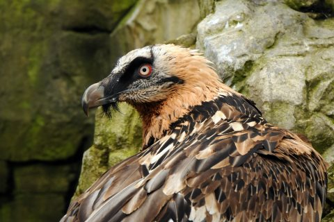 At risk of extinction: the Bearded vulture. Photo: Joachim S Muller.
