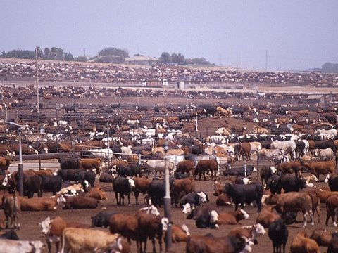 An intensive feedlot for beef cattle - a key stage in the US's amazingly high emissions from beef production. Photo: Socially Responsible Agricultural Project via Flickr.