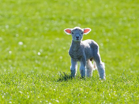 A New Zealand lamb in the spring. Is it more important that the lamb is 'tayyib' (good, wholesome, ethically and humanely produced) or halal (slaughtered iin accordance with Muslim ritual)? Photo: Tim Pokorny via Flickr.