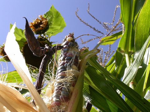 Agroecology in action: common bean, maize, and sunflower in UBC Milpa. Photo: J Hart via Flickr.