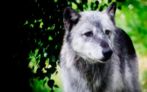 Gray Wolf. Photo: Digimist via Flickr.