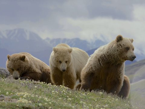 Rewilding - how far do we want to go? A Grizzly Bear (Ursus arctos ssp.) mother with two two-year old cubs in Denali National Park. Photo: Gregory 'Greg' Smith via Flickr.