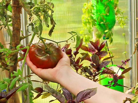 Inspecting a tomato at the wonderful Evergreen Brick Works' greenhouse in Toronto. Photo: Joseph Morris via Flickr.