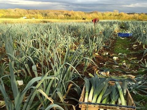 Now this is really what it's all about ... harvesting organic leeks at Sandy Lane Farm, Oxfordshire. Photo: facebook.com/sandylanefarm .