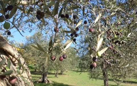 Last year's fine crop of olives in Umbria, Italy, has been followed by what farmers say is the worst in memory.Photo: Carolyn Lyons.