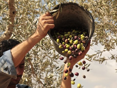 Bringing in the olive harvest. Photo: Zaytoun.