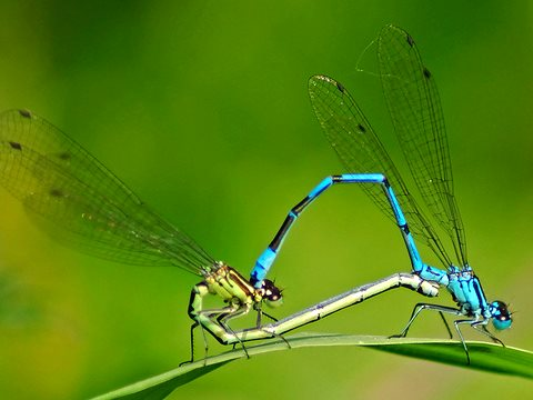 Azure damselflies. Photo: Paul Ritchie via Flickr, CC BY-NC-ND 2.0.