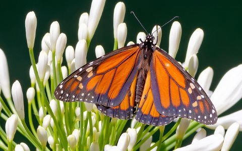 Monarch Butterfly, Danaus plexippus, in Glendale, CA. Photo:  David Levinson via Flickr, CC BY-NC-SA 2.0.