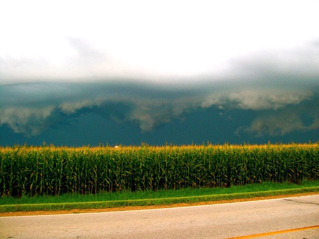 Cornfield in Iowa, almost certainly growing a GMO crop. Photo: Laura Bernhardt via Flickr (CC BY-ND 2.0).