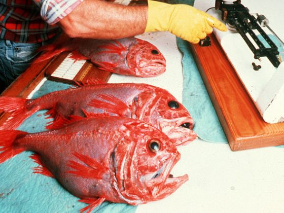 Orange roughy - one of the vulnerable fish species caught on the high seas. Photo: CSIRO Science Image (CC BY).