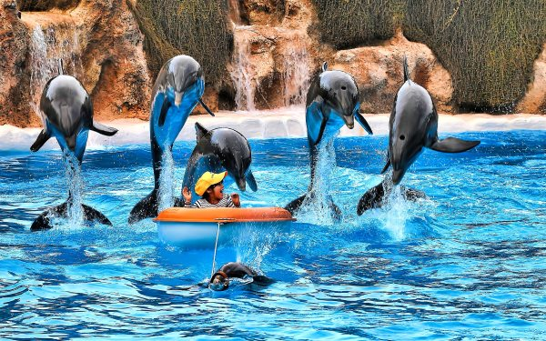 The show goes on at Loro Parque, Tenerife, Spain - the country which hosts 11 out of the EU's 33 dolphinaria. Photo: Oliver Clarke via Flickr (CC BY 2.0).