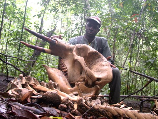 A ranger looks at the skull of an elephant killed by poachers - a frequent side-effect of development projects that open up remote forests to human access. Photo: Ralph Buij, Author provided.