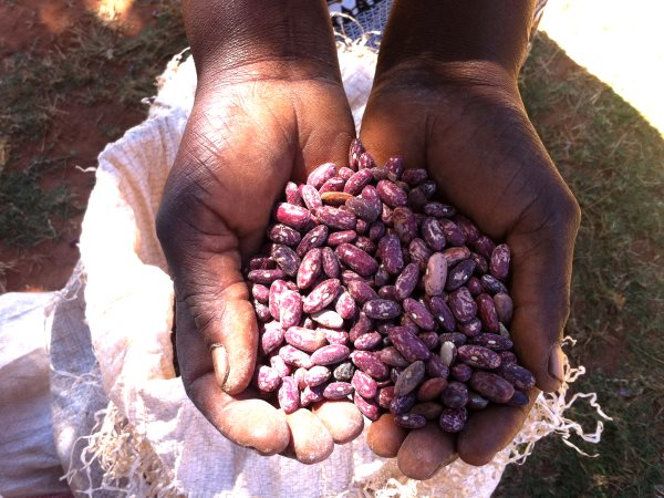 Seed saving in Malawi: farmer Maria Banda's cupped hands holding cowpea seeds. Photo: Stephen Greenberg / ACBIO.