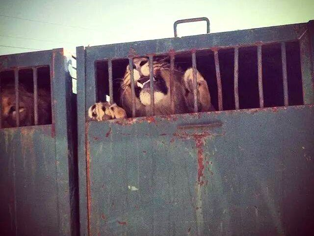 Lions being transported for a canned hunt. Photo: Campaign Against Canned Hunting.